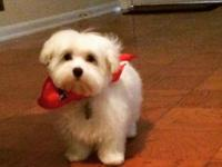 11 week old male Maltese for sale. He's up to date on