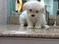 Maltese puppy male very small beautiful Taddy bear face