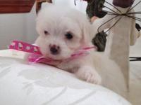 white maltese puppy! one girl, she is 8 weeks old. She