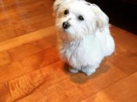 13 weeks old Maltese for sale This ad was posted with