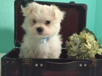 Male Maltese . Will be 8 weeks on Oct 22 and ready for