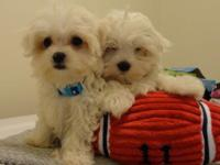Beautiful Maltese Puppies! Our second litter of Maltese
