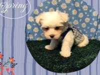 DARLING LITTLE MALE MALTESE PUPPY. HE IS HAPPY AND