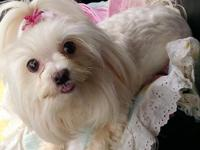 Maltese male puppy very pretty akc registered he will