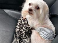 Maltese male puppy beautiful think coat pretty face akc