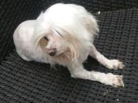 Super sweet and playful Maltese female.She is 6,5 lb