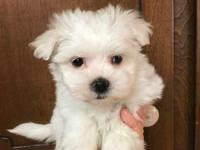Ken is a small AKC male Maltese who is expected to