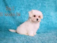 Last three Maltese puppies. Born on August 27, 2015.