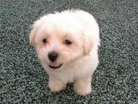 Extra tiny white female maltese, born 6-3-15 & will be