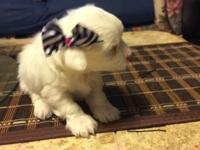 we have 4 beautyful maltese puppys 2 female and 2 males