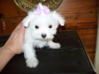 2 very small maltese pups for sale 1 small male $300
