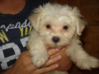 Maltese Pups, CKC registered, males for $750.00,