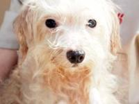 Maltese - Ramsford - Small - Adult - Male - Dog
