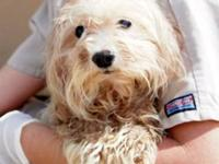 Maltese - Rochester - Small - Adult - Male - Dog