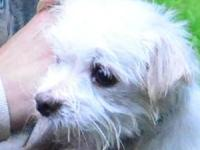 Maltese - Rodney - Small - Adult - Male - Dog To see
