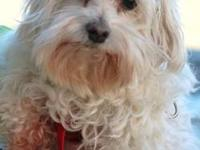 Maltese - Scruffy - Small - Adult - Male - Dog Scruffy