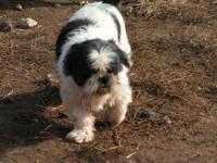 Maltese / Shih Tzu Designer Puppies . D.O.B. 5 / 12 /