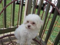 Maltese/Shih Tzu Desighner Puppy. D.O.B. 6-17-15. Born