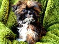 Maltese/Shih Tzu male puppy now available for adoption
