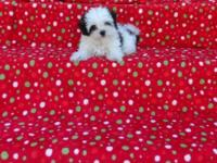 The young puppy is 10 weeks old. She is 3/4 Maltese,1/