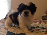 Maltese/Shihtzu puppies 8 weeks old. Have had 1st shot
