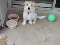 Adorable shihzu/Maltese is in need of a new loving