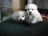 Adorable and beautiful Maltese Puppies. They will have