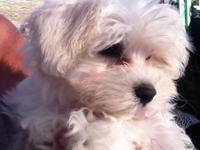 Gorgeous and adorable Malese baby puppies- All come