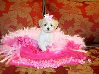 Maltese - Singa - Small - Adult - Female - Dog Singa