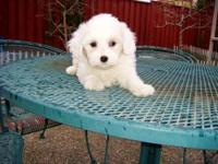 Maltese teacup puppy available. $950 each Come with