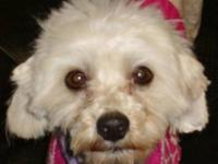 Maltese - Swiffer - Small - Young - Male - Dog If you