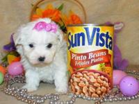 Our Maltese puppies are very cute, pretty little face
