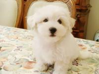 Maltese teacup puppy available. We have champion lined