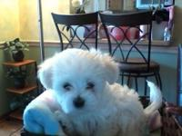 Two Guy Maltese Terrier puppies available they are 7