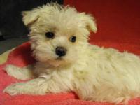 A very special puppy-2/ 3 maltese and 1/3 yorkie. 9 wks