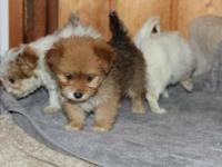 Maltese Yorkshire terrier mix young puppies, born