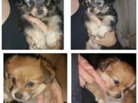 Morkie Puppies Born July 20th, 2015 One Female, One