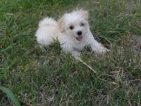 The puppy is 10 weeks old. He is 3/4 Maltese, 1/4