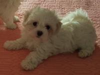 Have 2 females and 1 male Maltese born October
