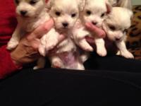 Gorgeous Maltese/Bichon Puppies. Mama is Maltese/Bichon