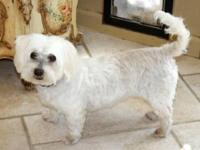 Maltese - Claire - Small - Young - Female - Dog Claire