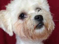 Maltese - Motley - Small - Adult - Male - Dog Motley is