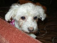 Maltese - Peanut - Small - Adult - Female - Dog Located