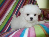Beautiful little white female, 10 weeks old, loves to