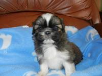 ADORABLE LITTLE MALE, LOVES TO PLAY, 8 WEEKS OLD, HAS