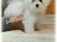 Tcup Maltese (Male) fully vaccinated. Beautiful white