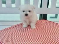 BABYDOLL FACE MALTESE PUPPIES, HOME RAISED PUPPIES 20