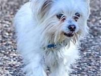 Maltese - Rhett - Adoption Pending - Small - Young -