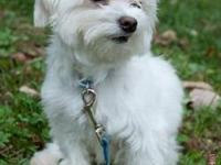 Maltese - Squirt - Small - Adult - Male - Dog You can
