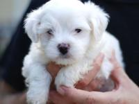 hello contact to get your Maltese puppies for free